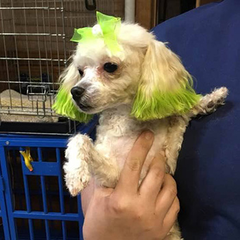 a dog with neon green highlights and a neon green bow in its hair