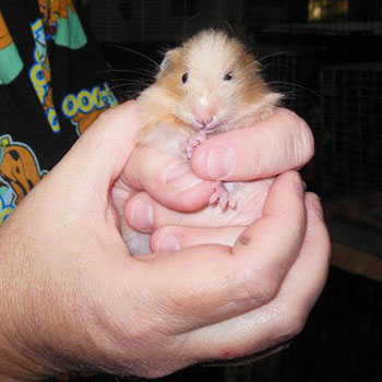 small animal being held by a caretaker